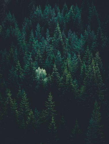 forrest-pine-nornorm.jpg